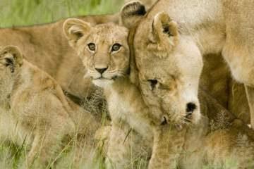 lionne avec son lionceau