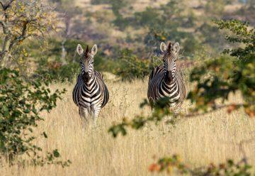 Zèbres en Afrique du Sud