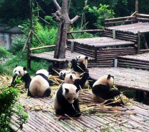 volontariat pandas