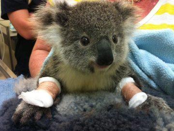 S'occuper des koalas en Australie